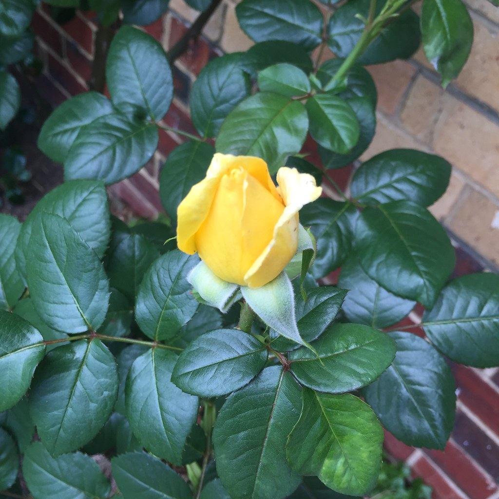 the first yellow rose bud of the season