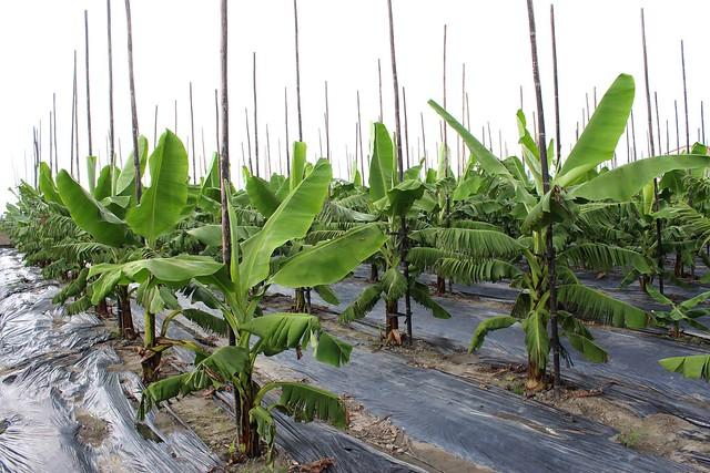 美濃的北蕉好吃的基礎在於與水稻輪作。攝影:廖靜蕙