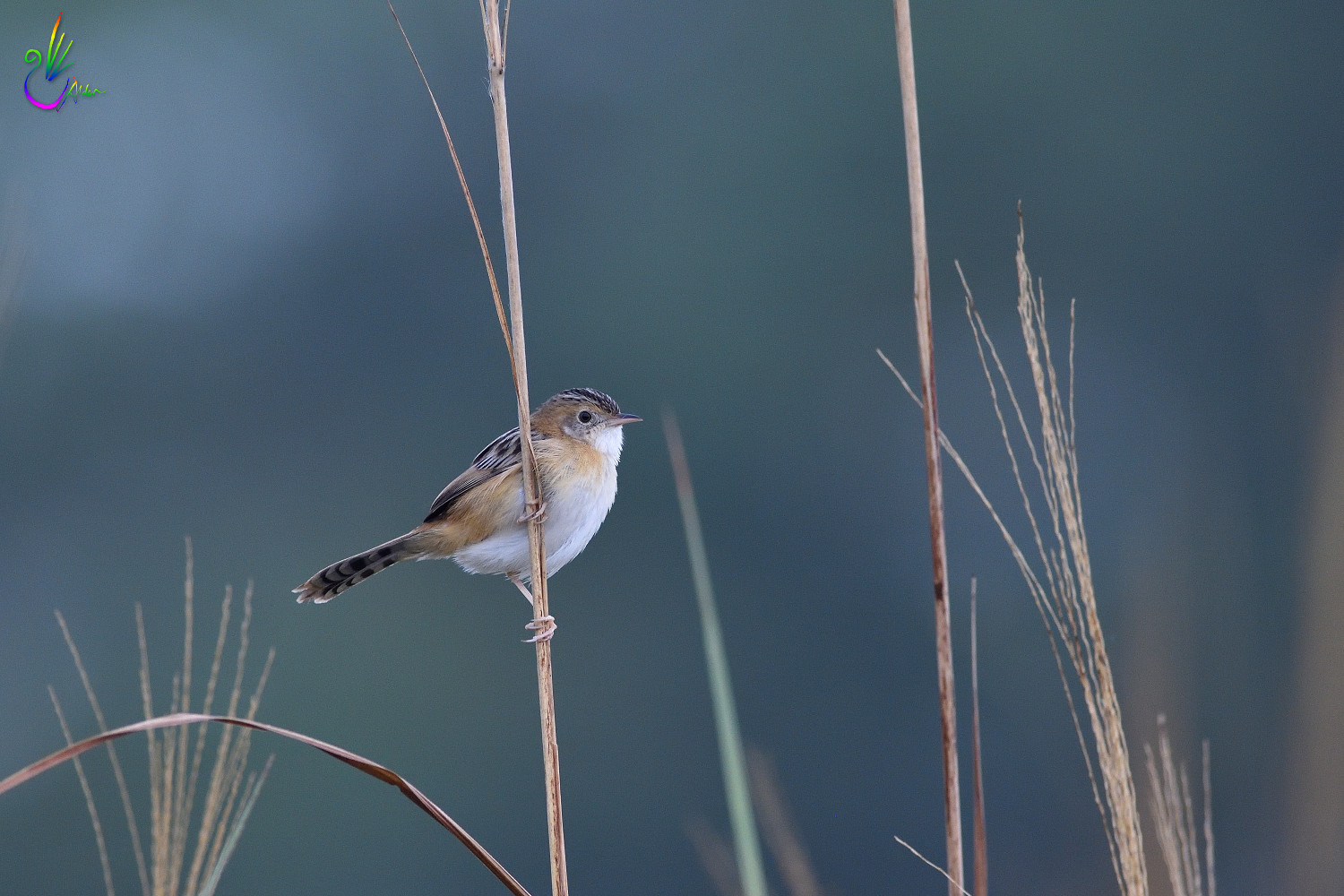 Golden-headed_Cisticola_7732