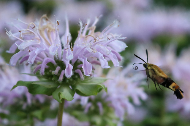 yellow-and-black fuzzy moth with its proboscis curled near a bee balm