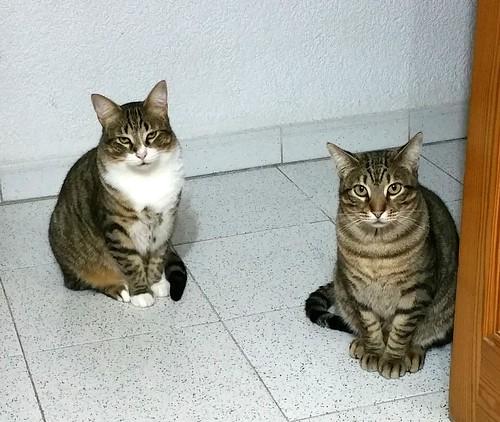 Cotton y Cobby, gatos pardo y blanquipardo inseparables, nacidos en Febrero´15, necesitan adopción Conjunta. Valencia. 32978994711_4a07eb4ea6