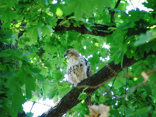 Red Tailed Hawk, Elizabethtown College | by natematias