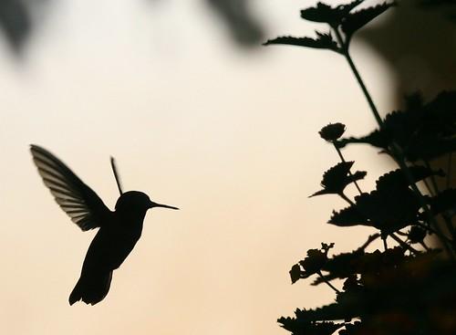 Hummingbird Silhouette Anna S Hummingbird In The Evening