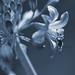 Agapanthus & Hover Fly - 2