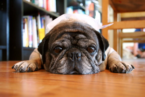 Roscoe the Pug With Ice Bag On His Head- Miserable in the Seattle Heat | by zoomar