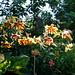 Lilium American Heritage morning light