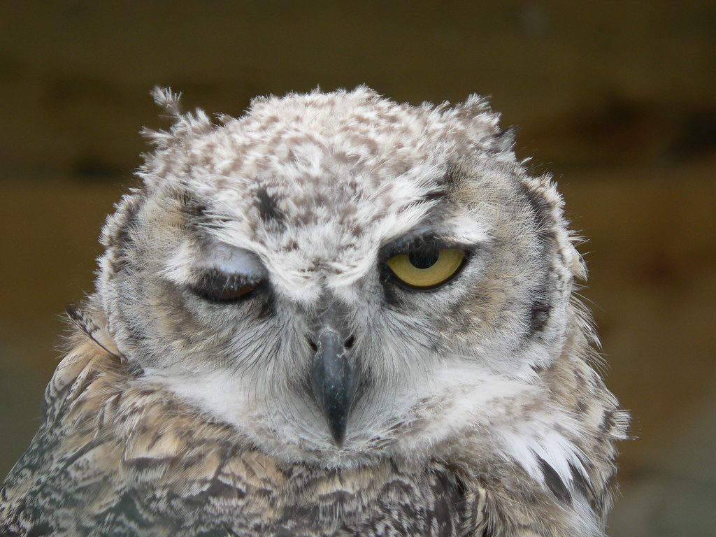 Another Winking Owl! | Great-horned Owl, Rays Farm ...