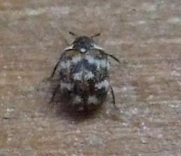 Carpet Beetle A Peter Birch Flickr