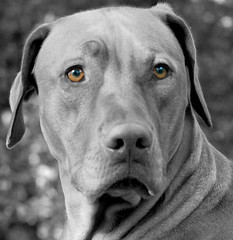 Amber Eyes | by MyRidgebacks - Sharon C Johnson