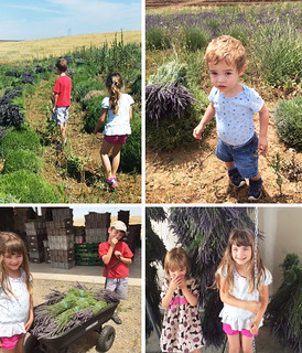 lavender harvest 2015 | by Farm Fresh To You -