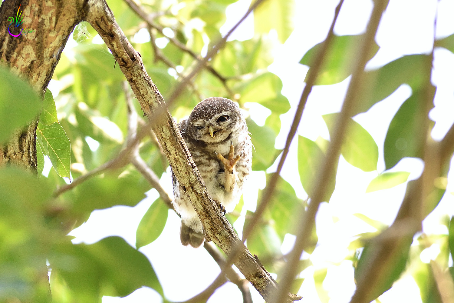 Spotted_Owlet_6824