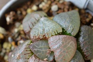 DSC_5224 Haworthia hybrid springbokvlakensis x comptoniana ハオルチア スプリング x コンプト