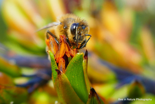 100-P1010194 | by Laurie Nature Bee