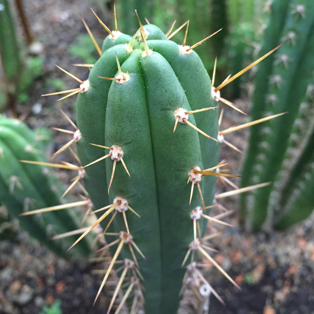 100 Samen Echinopsis macrogona Saatgut Trichocereus macrogonus