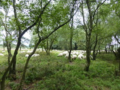 Eifel Sheeps ahead