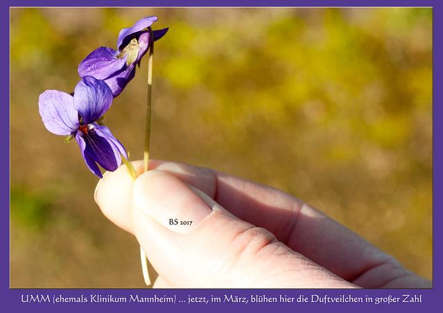 UMM (Universitätsmedizin Mannheim) ... in der Parkanlage des Klinikums blühen jetzt, im März, die zarten Duftveilchen (Viola odorata) in großer Zahl - wunderschön ... Foto(s): Brigitte Stolle 2017