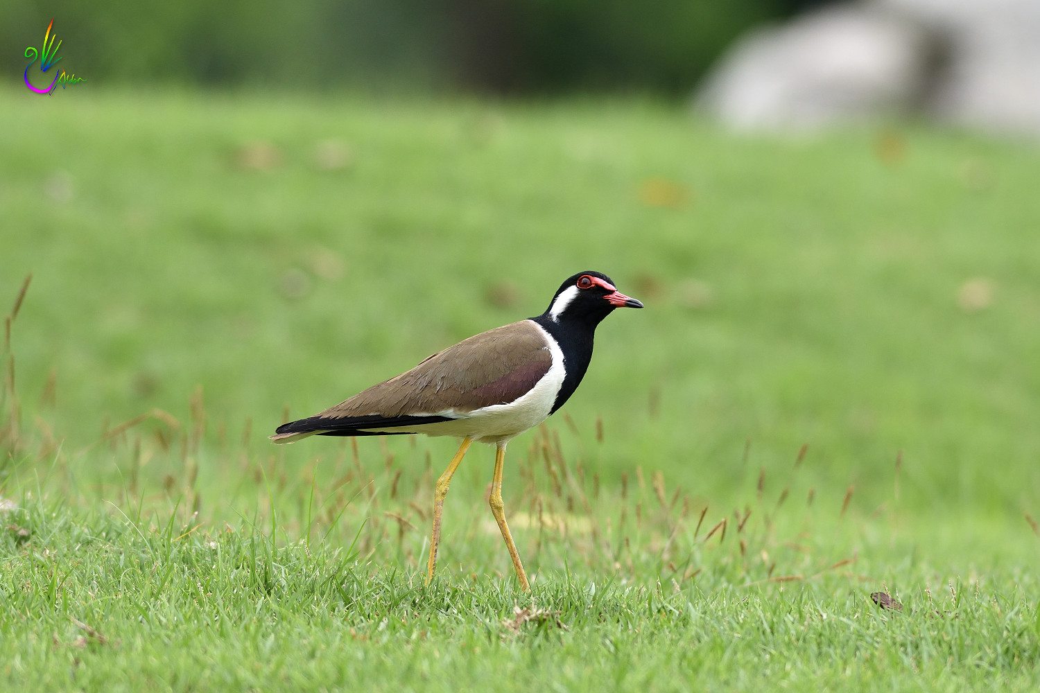 Red-wattled_Lapwing_3342