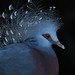 Crowned Pidgeon