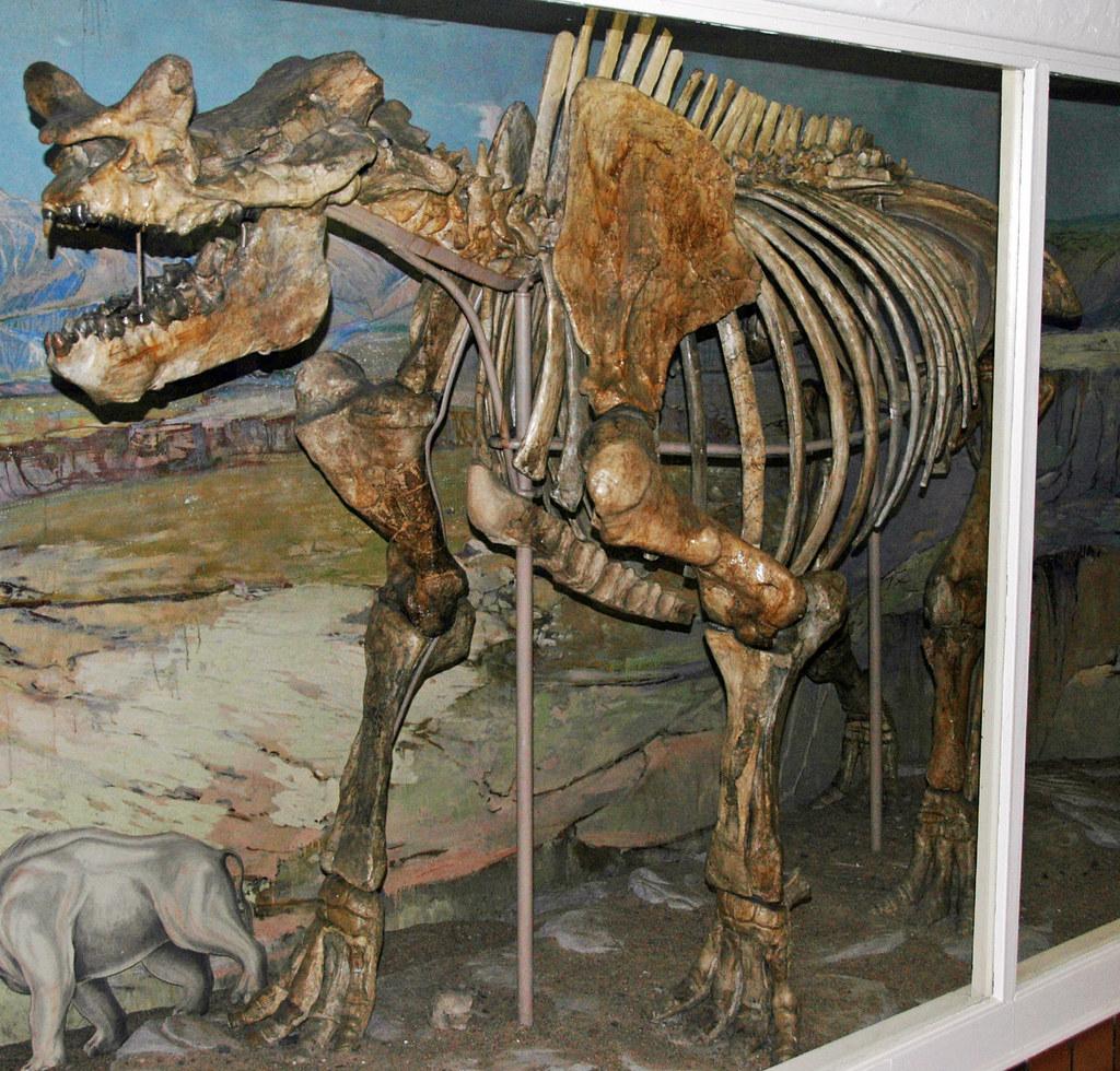 Megacerops robustus (fossil titanothere) (Oligocene; Nebra ...