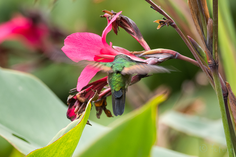 Eupherusa, eximia, Stripe, tailed, Hummingbird, Parque, Nacional, Los, Quetzales, Costa Rica, Kaido Rummel