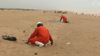 工作人員撿拾海灘上的死魚,就近掩埋。圖片來源:影片截圖