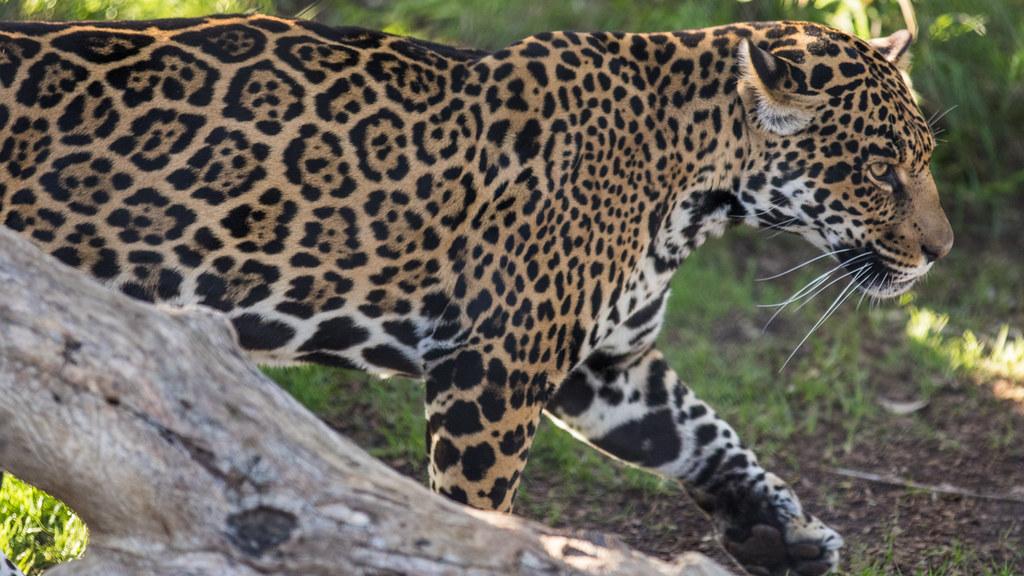 ... Jaguar At San Diego Zoo | By Bob Worthington Photography