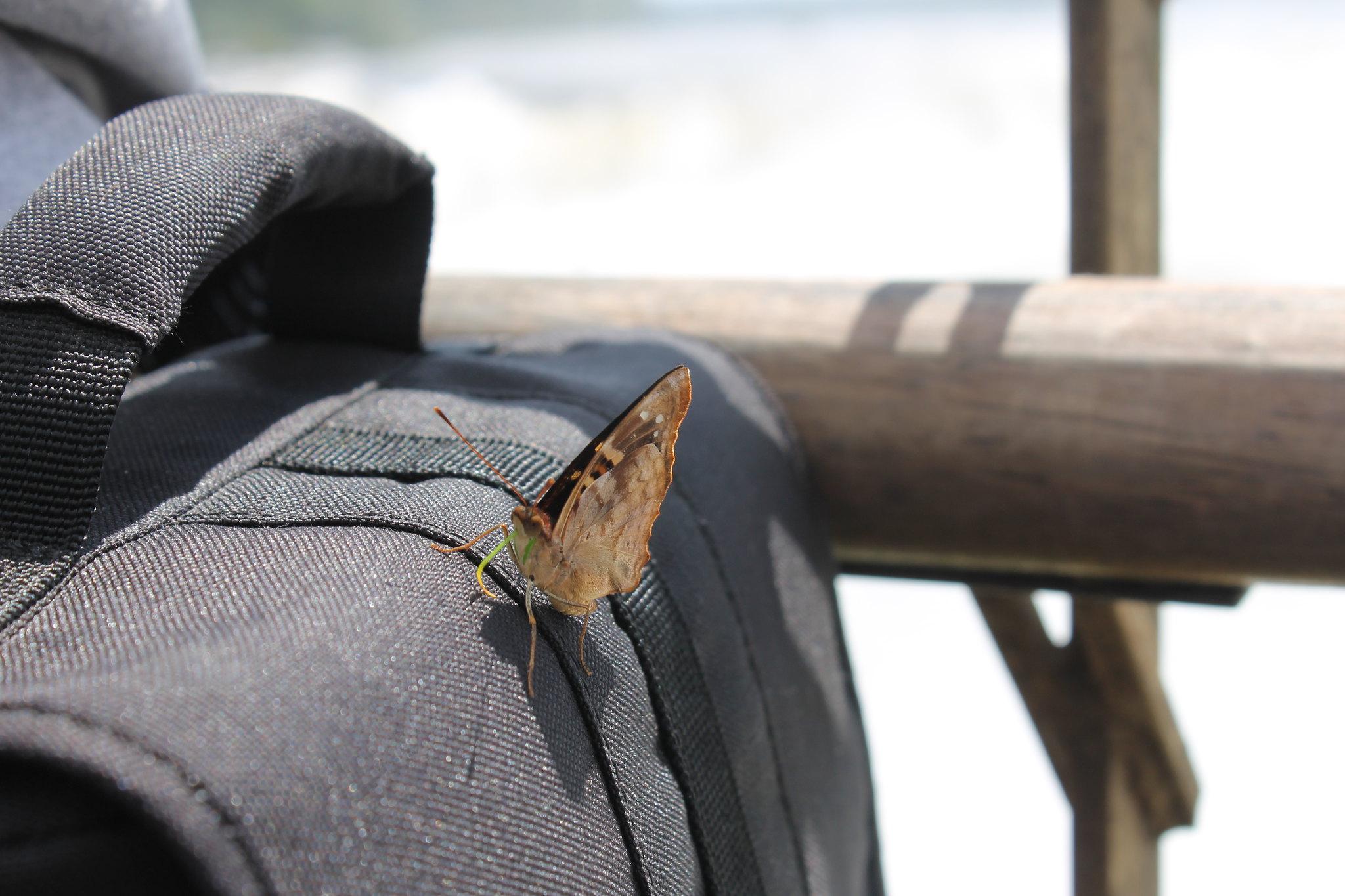 garganta-diabo-argentina-borboleta