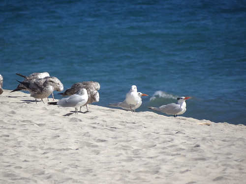 ring-billed gull, California gull, royal tern