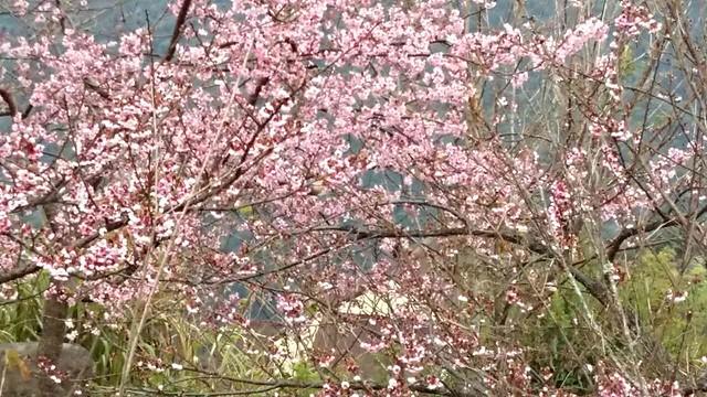 5清境特將今天日初雲來庭園花