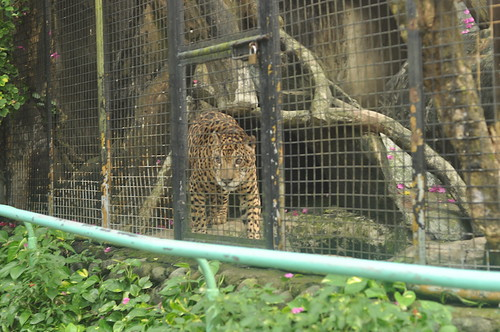 Leopard? (Avilon Zoo)