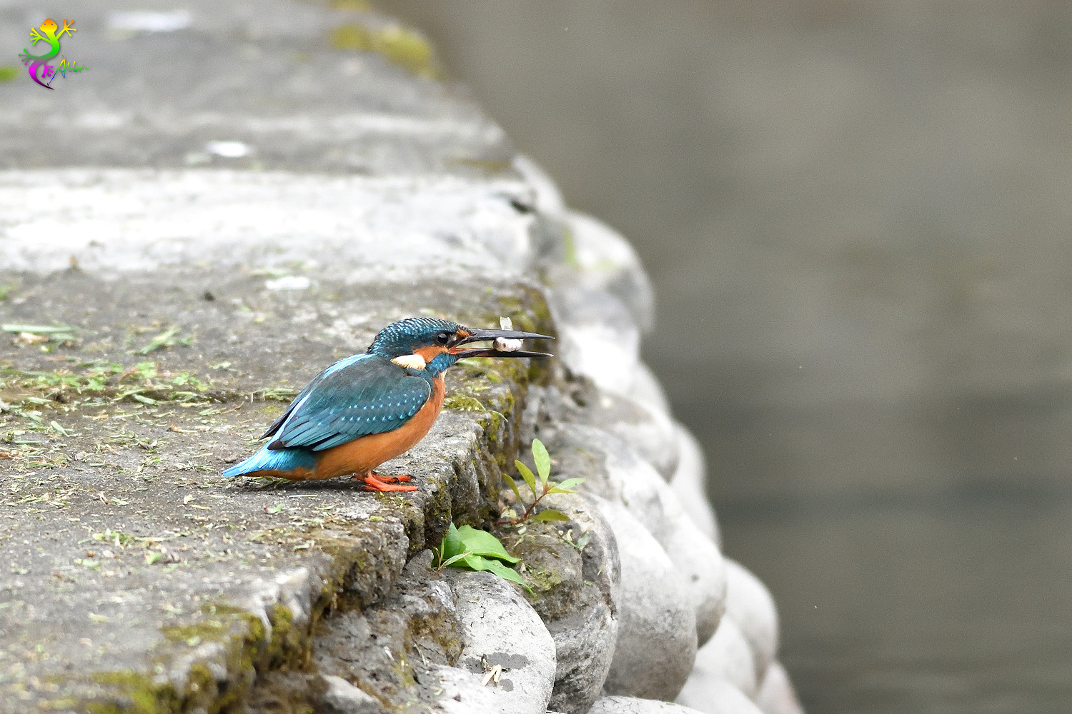 Common_Kingfisher_9558