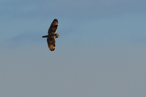 NY: Short-eared Owl in Flight 2