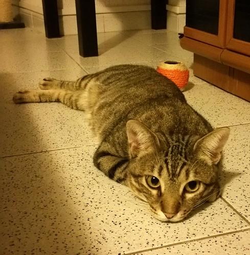 Cotton y Cobby, gatos pardo y blanquipardo inseparables, nacidos en Febrero´15, necesitan adopción Conjunta. Valencia. 32978986511_ed36f6ce4c