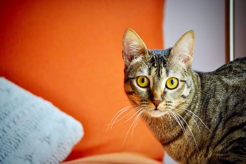 Muriel, gatita atigrada parda tímida y dulce esterilizada, de ojos cobrizos, nacida en Abril´16, en adopción. Valencia. 33245783075_0b3930eea6