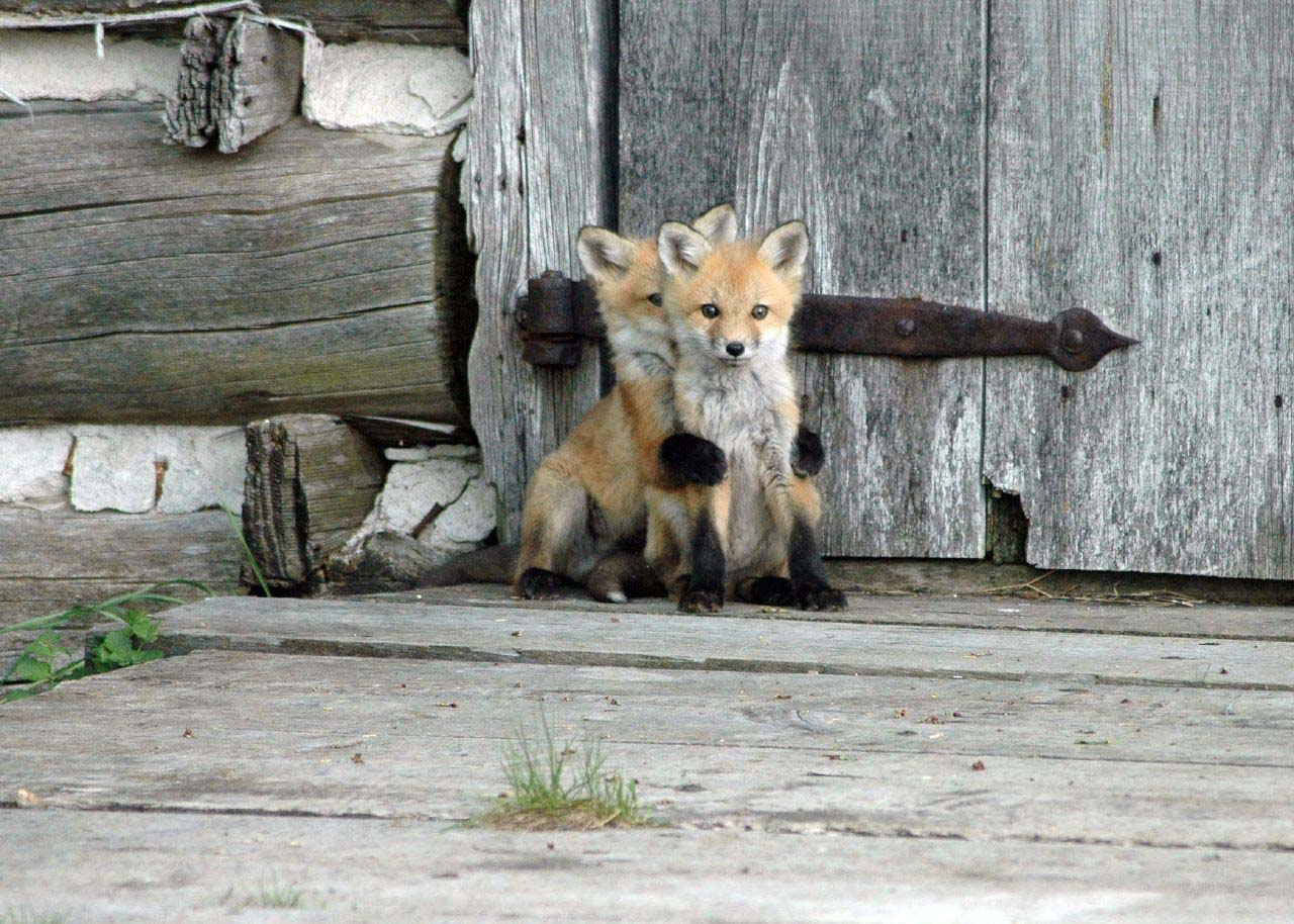 27 Adorable & Tiny Animals That Are Too Cute To Handle #26: Fox