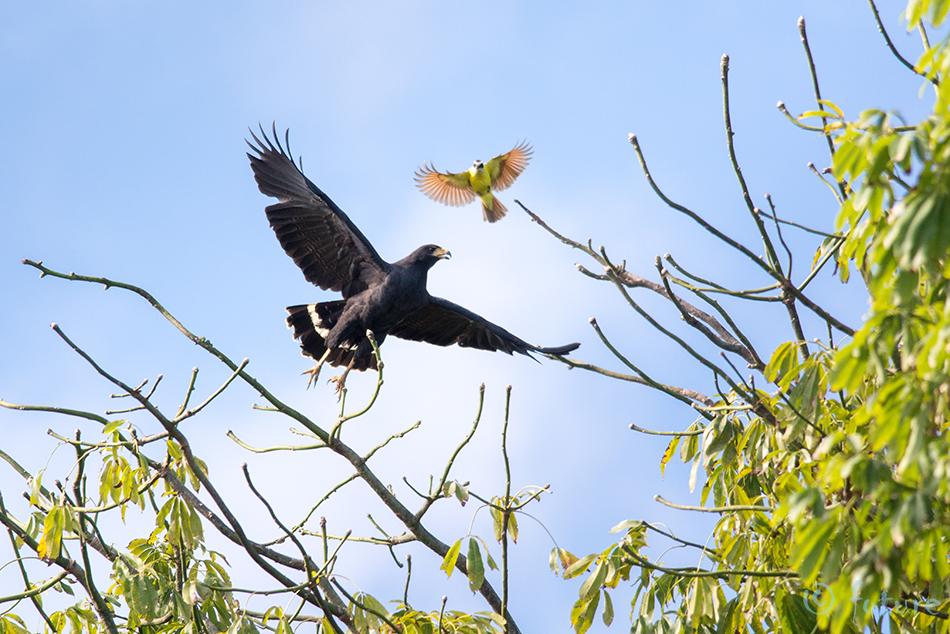 Kaldaviu, Buteogallus, anthracinus, Common, Black, Hawk, Lesser, Costa Rica, Caribbean, coast, masktikat, kiskadee, great, tikat, Kaido Rummel
