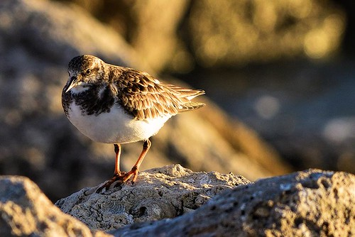 Jetty Park, FL: Ruddy Turnstone