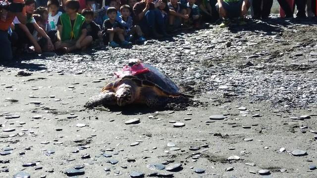 宜蘭縣政府13日野放的母成體玳瑁。圖片來源:宜蘭縣政府