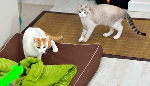 Gary, gatito blanco y naranja cruce Van Turco esterilizado muy activo nacido en Julio´16, en adopción. Valencia. ADOPTADO. 31590421951_ef2304c0e6