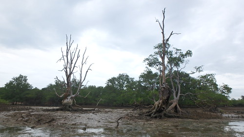 Large dead mangrove trees at Pulau Semakau