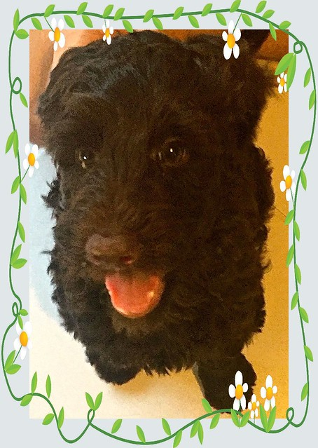 Willow the labradoodle pup, 15  March 2017