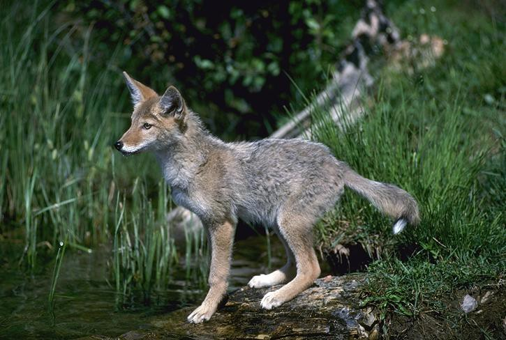 Coyote canis latrans pup file photo california for California department of fish and wildlife jobs