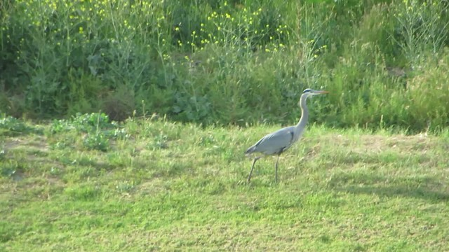 the heron takes a stroll