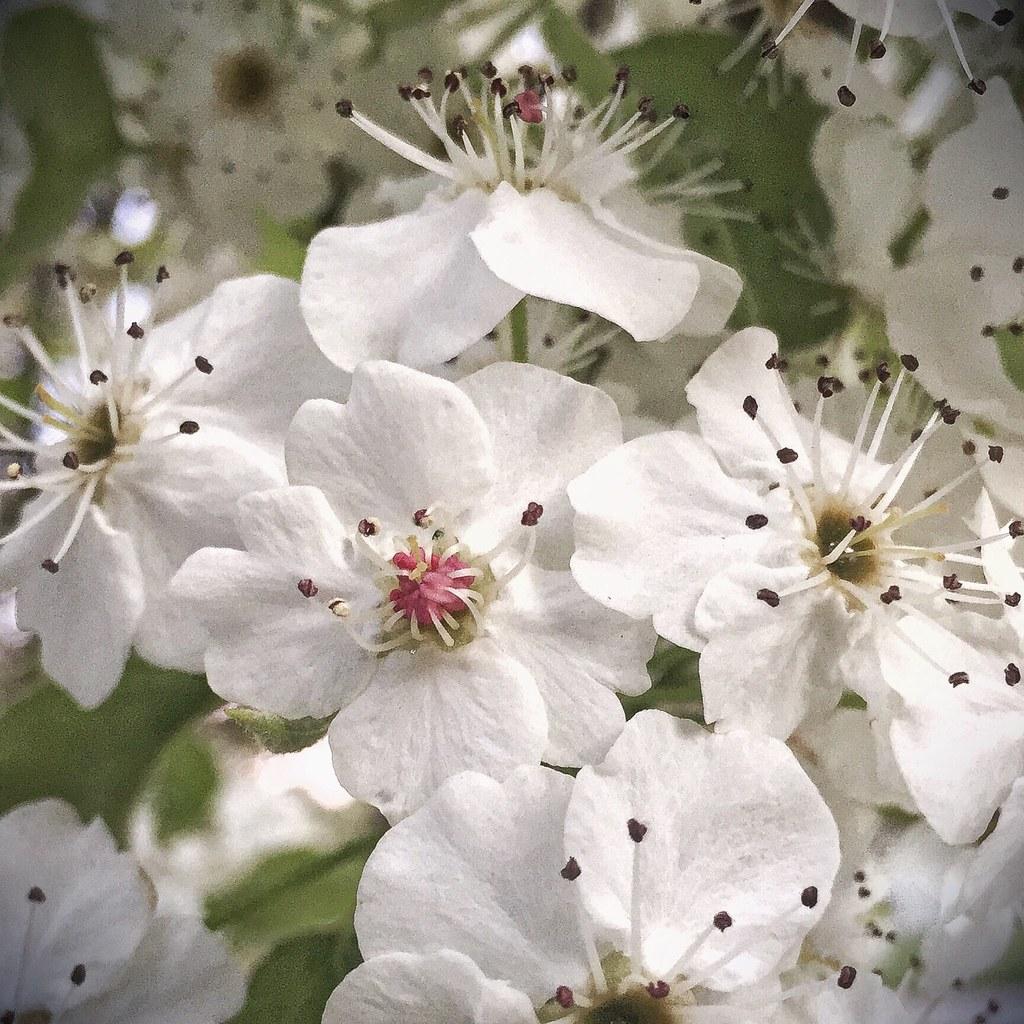 White blossom flowers forrest act australia 201509 flickr white blossom flowers forrest act australia 20150926 0546 mightylinksfo