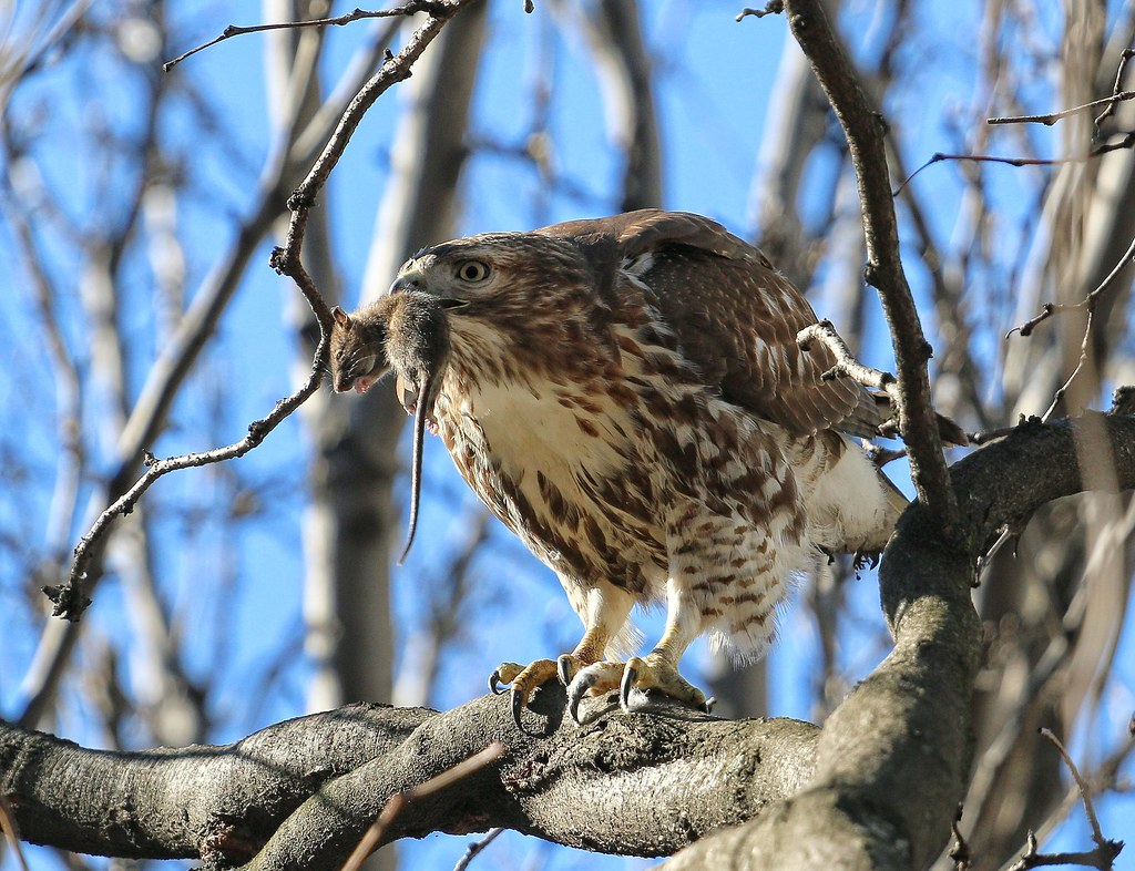 Red-tail with mouse