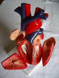 foto 37 (b) modello aperto di cuore umano