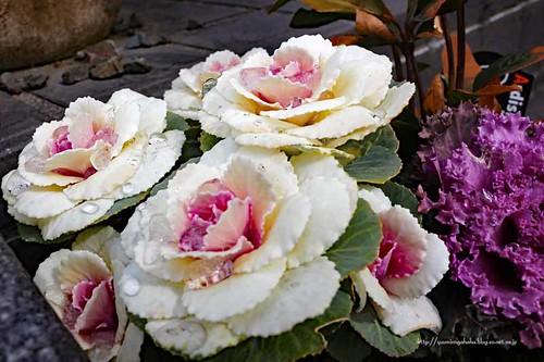 花キャベツもしくは葉牡丹
