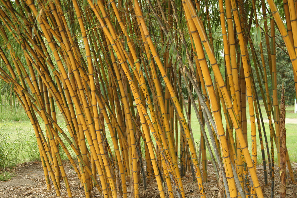 phyllostachys vivax 39 aureocaulis 39 golden vivax bamboo. Black Bedroom Furniture Sets. Home Design Ideas