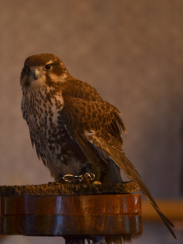 OWL - Prairie Falcon