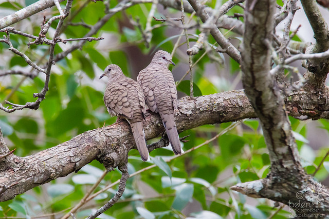 Inca Dove Mating Pair